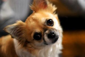 犬のアトピー性皮膚炎の診断基準とは?